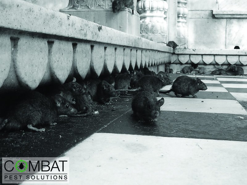Rodent Infestations, Health Risks and the Best Solution