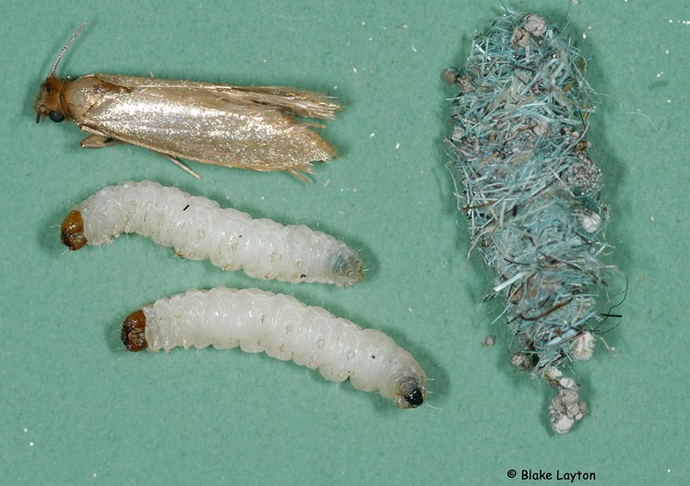 Carpet moth larvae