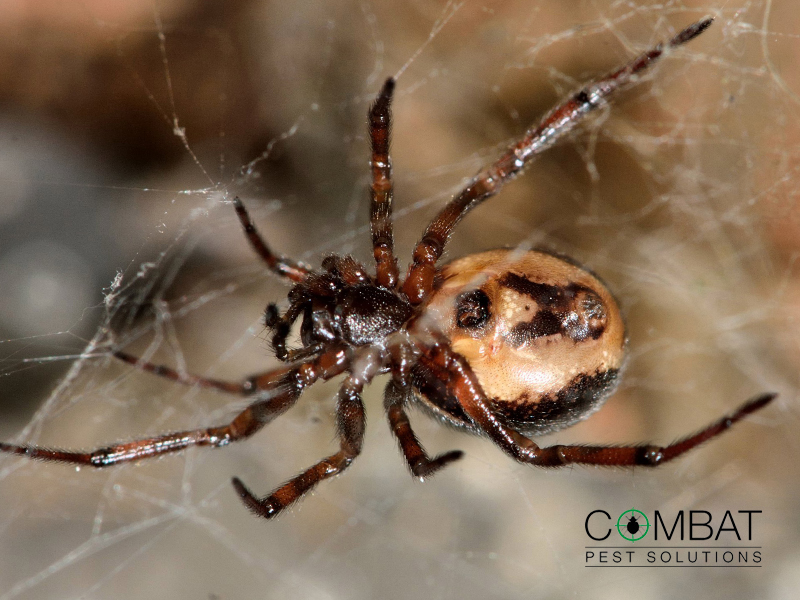 False Widow Spiders Blog Image 2