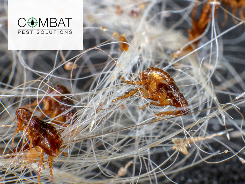 Facts About Fighting a Flea Infestation Image 2