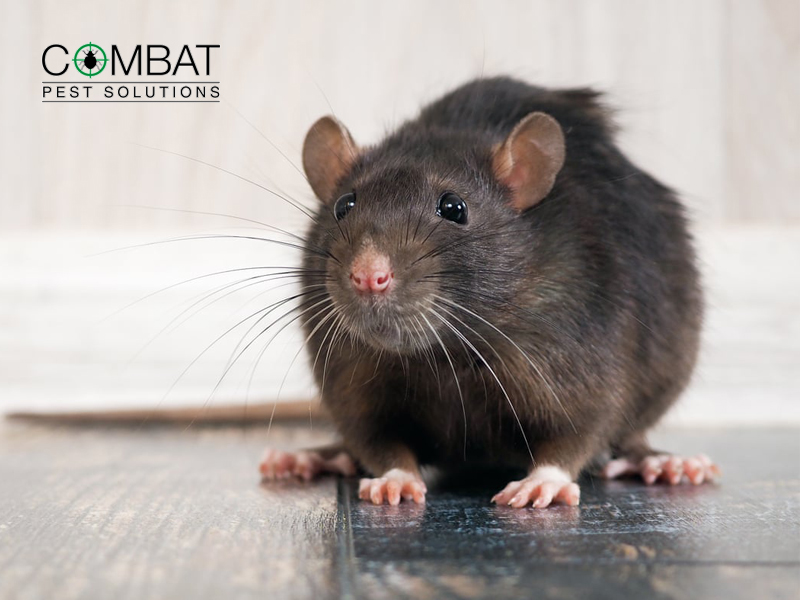 How to Keep Rats Out of My House: 7 Top Tips from the Pros